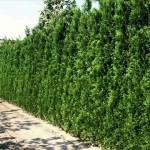 Забор из живых растений